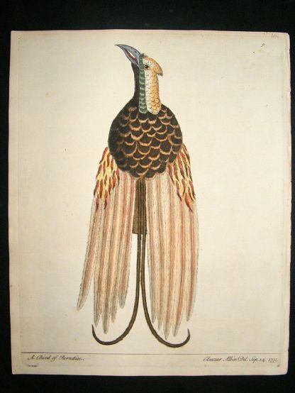 Albin: 1730's Hand Colored Bird Print. Bird of Paradise | Albion Prints